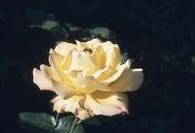 rosenbogen_26