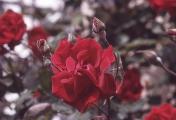 rosenbogen_27
