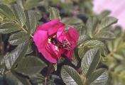 rosenbogen_28