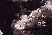 rosenbogen_30