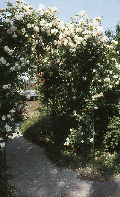 rosenbogen_6
